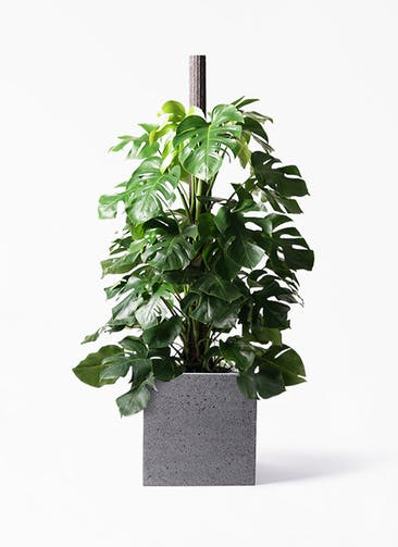 観葉植物 モンステラ 10号 木柱 キューブ ラテルストーン 付き