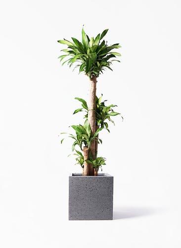 観葉植物 ドラセナ 幸福の木 10号 ノーマル キューブ ラテルストーン 付き