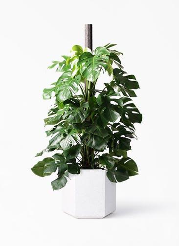 観葉植物 モンステラ 10号 木柱 コーテス ヘックス ホワイトテラゾ 付き