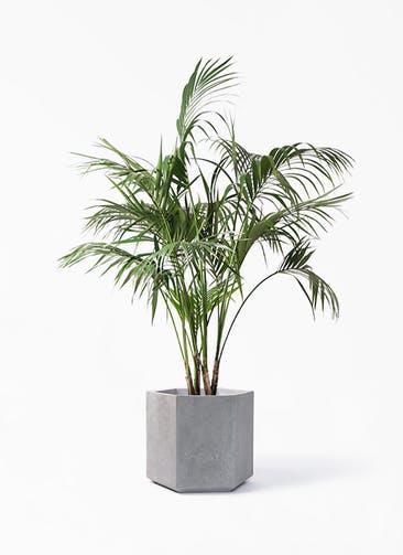 観葉植物 ケンチャヤシ 10号 コーテス ヘックス 灰 付き