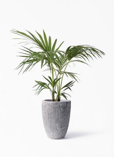 観葉植物 ケンチャヤシ 8号 アビスソニア トール 灰 付き