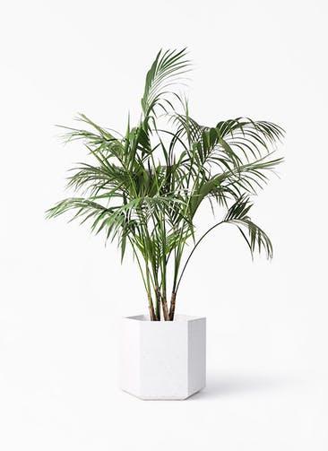 観葉植物 ケンチャヤシ 10号 コーテス ヘックス ホワイトテラゾ 付き