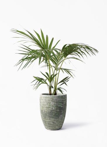観葉植物 ケンチャヤシ 8号 アビスソニア トール 緑 付き