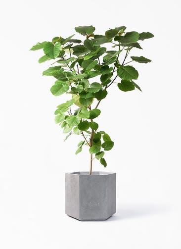 観葉植物 フィカス ウンベラータ 10号 ノーマル コーテス ヘックス 灰 付き