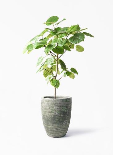 観葉植物 フィカス ウンベラータ 8号 ノーマル アビスソニア トール 緑 付き