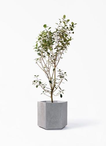観葉植物 フランスゴムの木 10号 ノーマル コーテス ヘックス 灰 付き