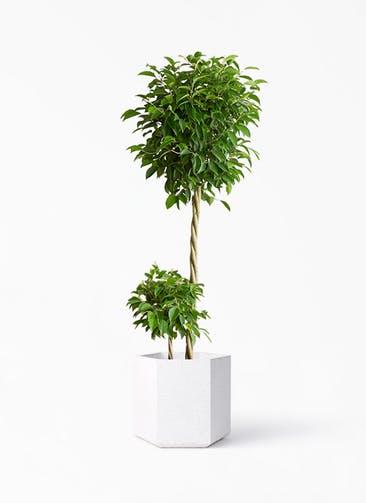 観葉植物 フィカス ベンジャミン 10号 玉造り コーテス ヘックス ホワイトテラゾ 付き