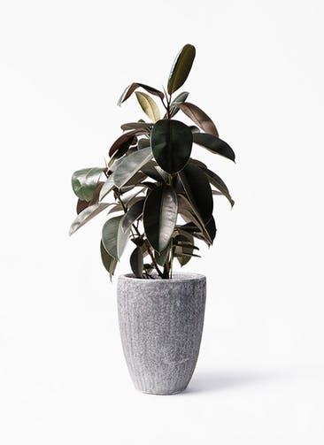 観葉植物 フィカス バーガンディ 8号 ノーマル アビスソニア トール 灰 付き