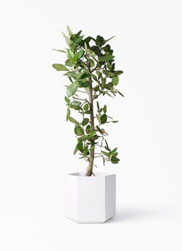 観葉植物 フィカス ベンガレンシス 10号 ストレート コーテス ヘックス ホワイトテラゾ 付き