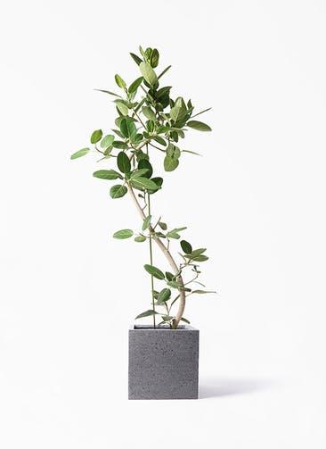 観葉植物 フィカス ベンガレンシス 10号 曲り キューブ ラテルストーン 付き