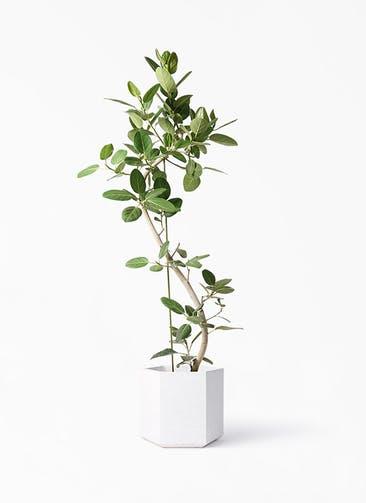 観葉植物 フィカス ベンガレンシス 10号 曲り コーテス ヘックス ホワイトテラゾ 付き