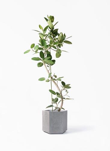 観葉植物 フィカス ベンガレンシス 10号 曲り コーテス ヘックス 灰 付き
