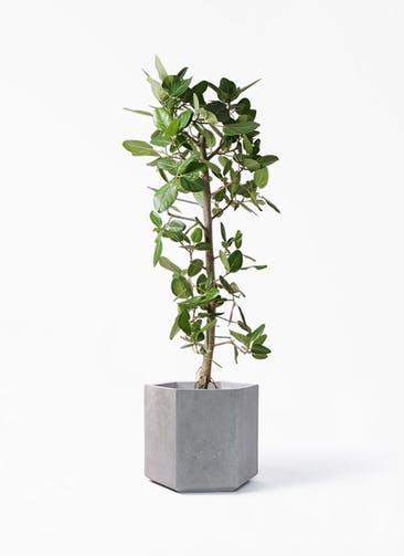 観葉植物 フィカス ベンガレンシス 10号 ストレート コーテス ヘックス 灰 付き
