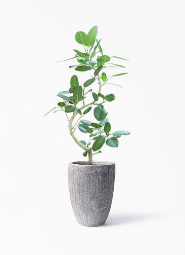 観葉植物 フィカス ベンガレンシス 8号 曲り アビスソニア トール 灰 付き