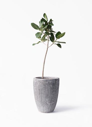 観葉植物 フィカス ベンガレンシス 8号 ストレート アビスソニア トール 灰 付き