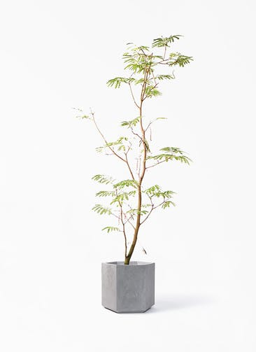 観葉植物 エバーフレッシュ 10号 ボサ造り コーテス ヘックス 灰 付き