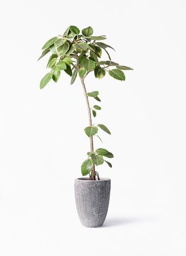 観葉植物 フィカス アルテシーマ 8号 ストレート アビスソニア トール 灰 付き