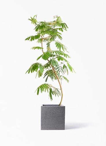 観葉植物 エバーフレッシュ 10号 曲り キューブ ラテルストーン 付き
