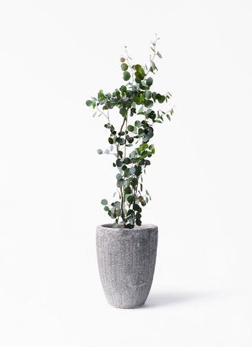 観葉植物 ユーカリ 8号 ポリアンセモス アビスソニア トール 灰 付き