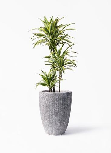 観葉植物 ドラセナ ワーネッキー レモンライム 8号 アビスソニア トール 灰 付き