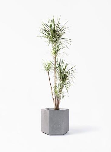 観葉植物 コンシンネ ホワイポリー 10号 ストレート コーテス ヘックス 灰 付き
