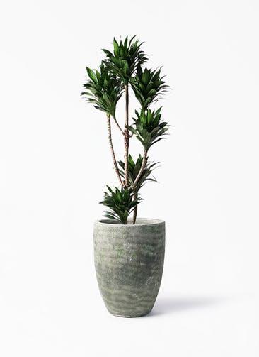 観葉植物 ドラセナ コンパクター 8号 アビスソニア トール 緑 付き