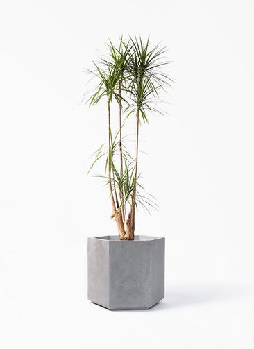 観葉植物 ドラセナ コンシンネ 10号 寄せ コーテス ヘックス 灰 付き