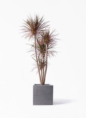 観葉植物 ドラセナ コンシンネ 10号 ストレート キューブ ラテルストーン 付き