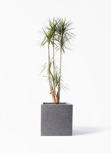 観葉植物 ドラセナ コンシンネ 10号 寄せ キューブ ラテルストーン 付き