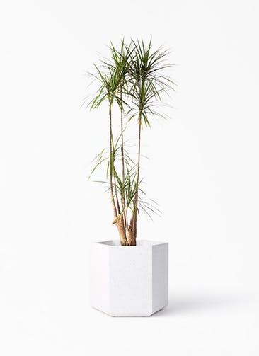 観葉植物 ドラセナ コンシンネ 10号 寄せ コーテス ヘックス ホワイトテラゾ 付き
