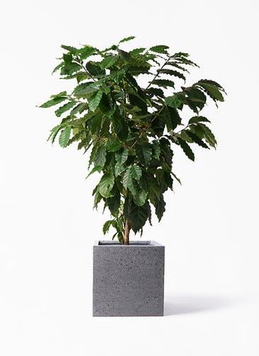 観葉植物 コーヒーの木 10号 キューブ ラテルストーン 付き