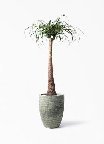 観葉植物 トックリラン 8号 アビスソニア トール 緑 付き