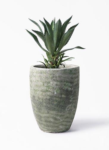 観葉植物 アガベ 8号 アメリカーナ アビスソニア トール 緑 付き