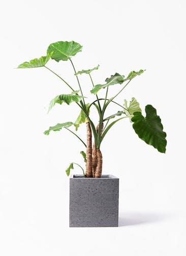 観葉植物 クワズイモ 10号 キューブ ラテルストーン 付き