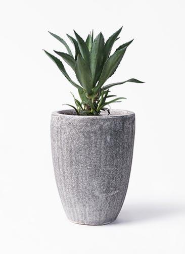 観葉植物 アガベ 8号 アメリカーナ アビスソニア トール 灰 付き