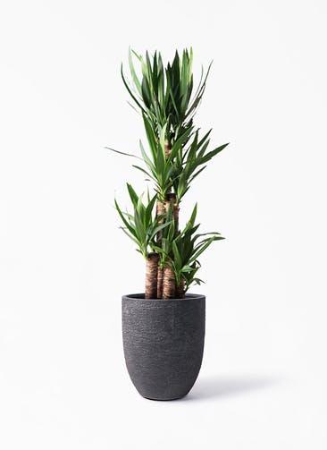 観葉植物 ユッカ 8号 ノーマル ビアスアルトエッグ ブラック 付き