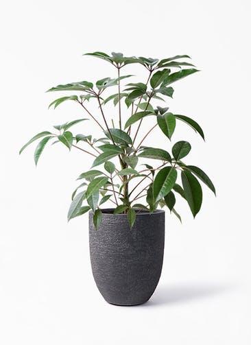 観葉植物 ツピダンサス 8号 ボサ造り ビアスアルトエッグ ブラック 付き