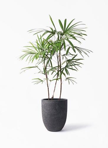 観葉植物 シュロチク(棕櫚竹) 8号 ビアスアルトエッグ ブラック 付き