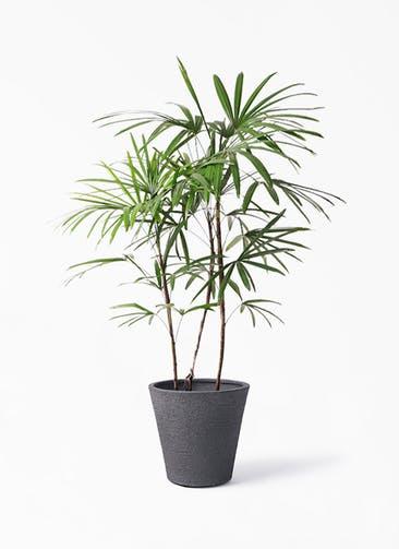 観葉植物 シュロチク(棕櫚竹) 8号 ビアスソリッド ブラック 付き