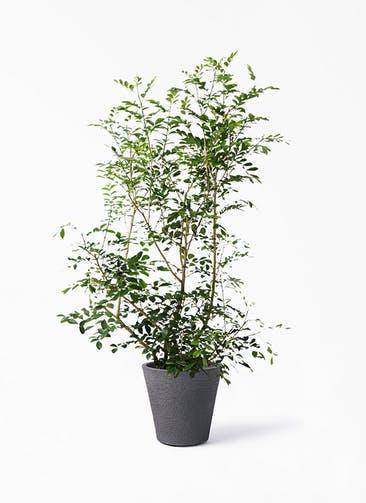 観葉植物 シルクジャスミン(げっきつ) 8号 ビアスソリッド ブラック 付き