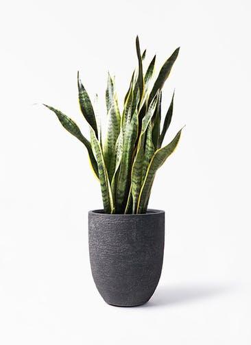 観葉植物 サンスベリア 8号 トラノオ ビアスアルトエッグ ブラック 付き