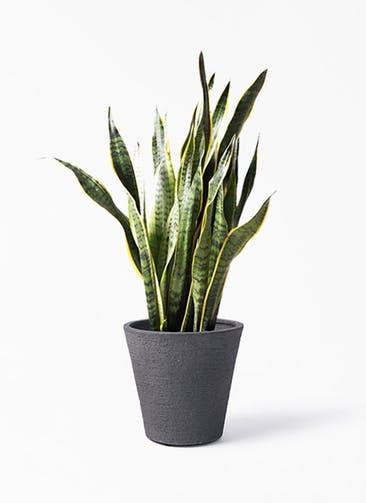 観葉植物 サンスベリア 8号 トラノオ ビアスソリッド ブラック 付き
