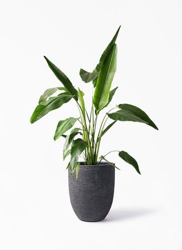 観葉植物 旅人の木 8号 ビアスアルトエッグ ブラック 付き