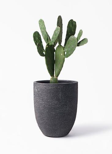 観葉植物 ウチワサボテン 8号 ビアスアルトエッグ ブラック 付き