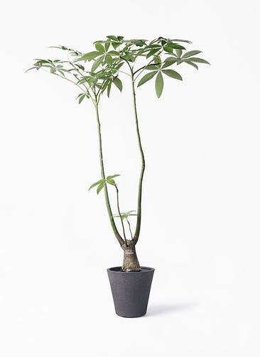 観葉植物 パキラ 8号 パラソル ビアスソリッド ブラック 付き