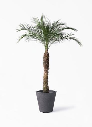 観葉植物 フェニックスロベレニー 8号 ビアスソリッド ブラック 付き