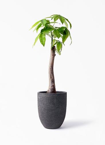 観葉植物 パキラ 8号 朴 ビアスアルトエッグ ブラック 付き