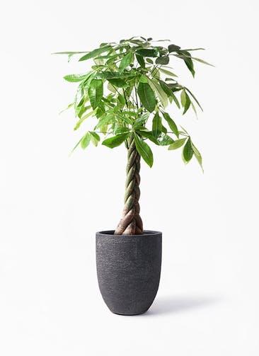 観葉植物 パキラ 8号 ねじり ビアスアルトエッグ ブラック 付き