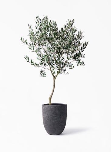観葉植物 オリーブの木 8号 創樹 ビアスアルトエッグ ブラック 付き