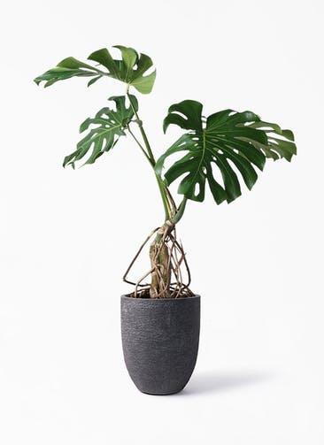 観葉植物 モンステラ 8号 根上り ビアスアルトエッグ ブラック 付き